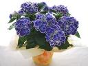 ブルーのチボリ、紫陽花♪