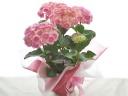 ピンクの紫陽花、筑紫ルビー(5号鉢)♪