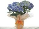 ブルーの紫陽花、チボリ♪