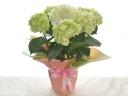紫陽花、緑花から白花へ♪