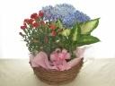 カーネーション、紫陽花の寄せ鉢セット