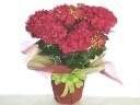 紫陽花の花鉢(赤系)♪