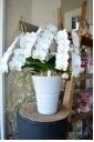胡蝶蘭 ホワイト