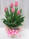 春ルンルン*チューリップの花鉢/バスケット付P30