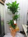 観葉植物*幸福の木(10号)