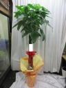 観葉植物*パキラ