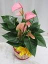アンスリウム鉢(ピンク)バスケット付き/P30