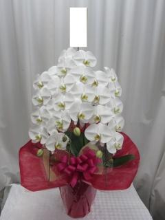 コチョウラン鉢(3F・ホワイト)*P200