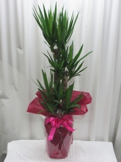 観葉植物*ユッカ/G100