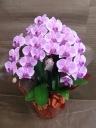 ピンクミディの胡蝶蘭