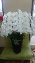コチョウラン鉢 白