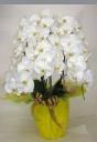 胡蝶蘭(白色)