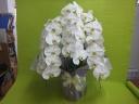 白く美しい花*胡蝶蘭*
