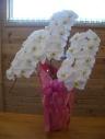 胡蝶蘭鉢。