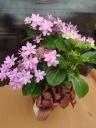 母の日可愛いピンクのアジサイ鉢