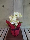 ミニ胡蝶蘭鉢