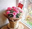 ピンクカーネ―ション5寸(マハロ)鉢カバー付き