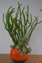 オンコクラータと多肉植物の寄せ植え