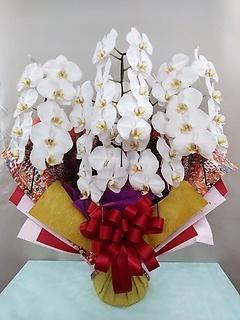 豪華な胡蝶蘭