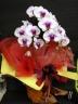 赤リップ胡蝶蘭