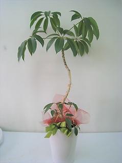 カーブ枝の観葉植物