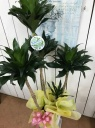 ドラセナ観葉植物
