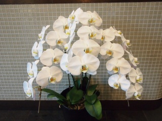 胡蝶蘭3本立 白