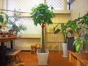 観葉植物グリーンインテリア【パキラ】