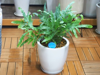 観葉植物グリーンインテリア【フルボディウム】