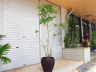 観葉植物グリーンインテリア【シマトネリコ】