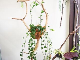 観葉植物グリーンインテリア【ハンキングアイビー】